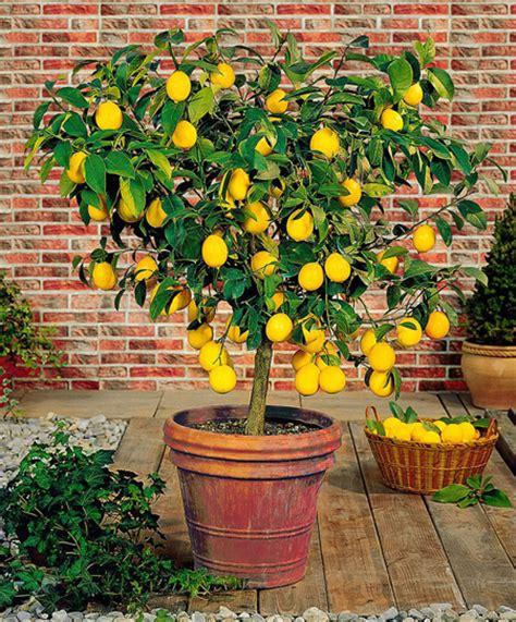 myer trees meyer lemon trees for sale fast growing trees