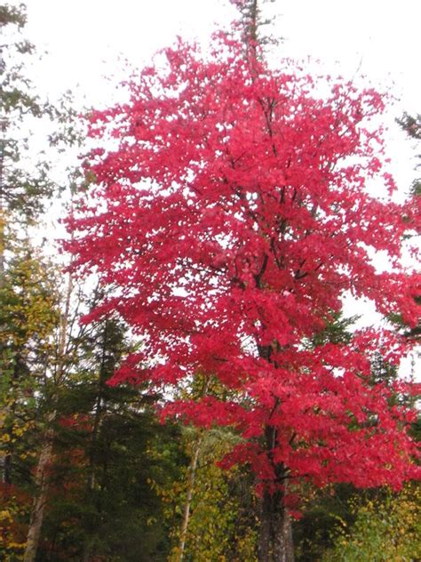 maple tree information maple tree pictures information on the maple tree species