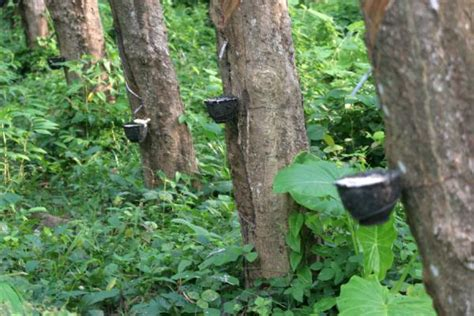 tree of rubber st photo de ko mook rubber tree plantation ko mook thailande