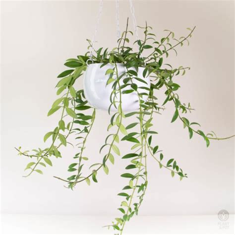 white hanging planter lipstick plant in white hanging planter plant and pot nz