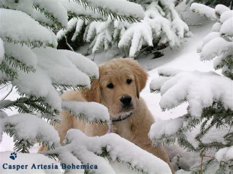 puppy tree in snow animal fir golden pet puppy retriever tree