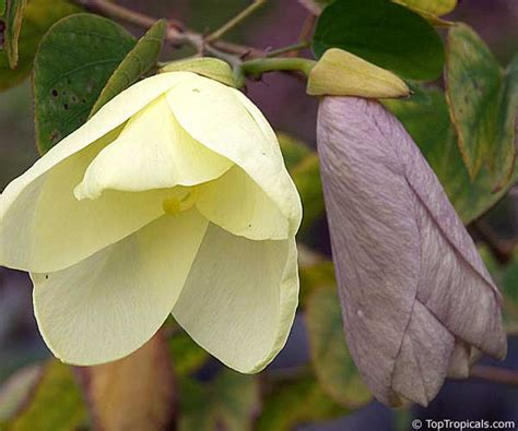 orchid rubber st bauhinia tomentosa yellow orchid tree yellow bell