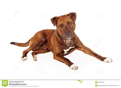 brown pit brown pit bull royalty free stock photo cartoondealer