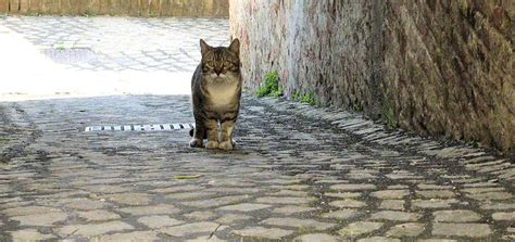 alley cat free photo alley cat rome stray cat italy free image