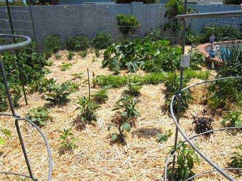 straw mulch vegetable garden patti s top ten reaons to mulch with straw 1 it s cheap
