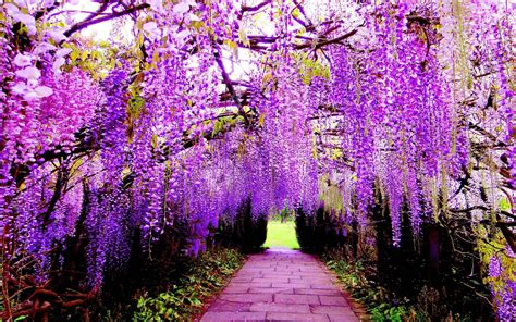 flower tunnel wisteria wallpapers wallpaper cave