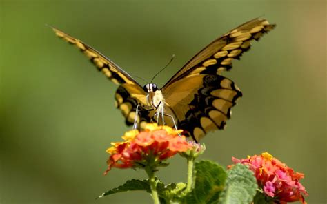 a butterfly news butterfly beautiful butterfly pictures