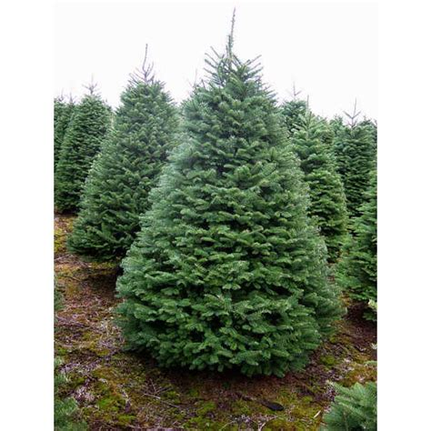 noble fir tree pictures noble fir tree rudys trees
