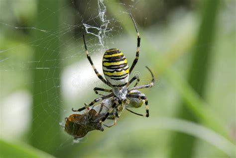 Garden Spider Prey Argiopa Spider With Prey Stock Photography Image 33183552