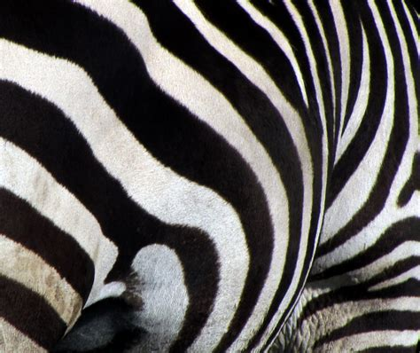 zebra stripes plains zebra stripes travels trips tails