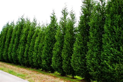 leyland cypress trees growing leyland cypress trees the tree center