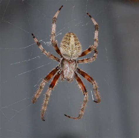 Garden Spider Usa Common Usa Spiders At Spiderzrule The Best Site In The