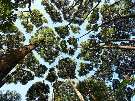 tree of the phenomenon of crown shyness where trees avoid