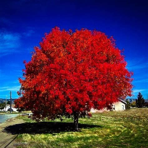 maple tree in fall autumn blaze maple tree for sale the tree center