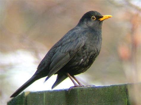 black bird blackbird turdus merula bird images