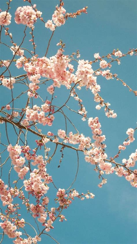 cherry blossom tree best htc wallpapers