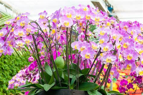 bien rempoter une orchid 233 e phalaenopsis pour nouvelle floraison mes conseils