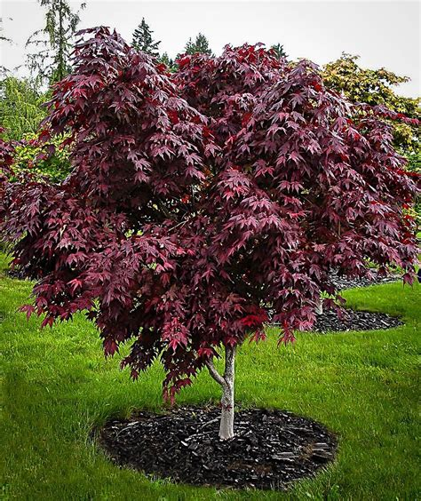 the complete japanese maple guide the tree center