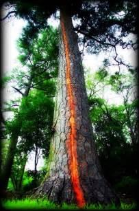 lighting trees lightning trees exploding ian lunt ecology