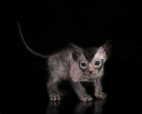 for cats kittens lykoi cats the original lykoi breeder