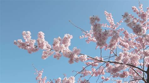 cherry tree vs cherry blossom tree pan across japanese cherry blossom tree with pink flowers and blue sky with sun flare stock