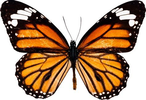 of a butterfly you can image png image or background butterfly
