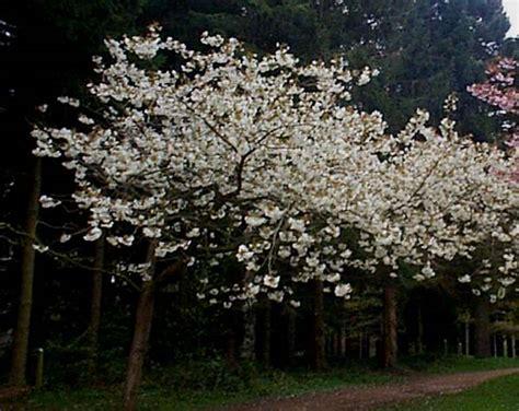 777 cherry tree rd prunus avium cherry identification guide