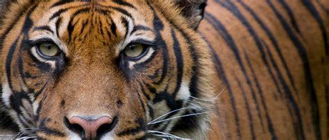 of tiger tiger wwf australia wwf australia