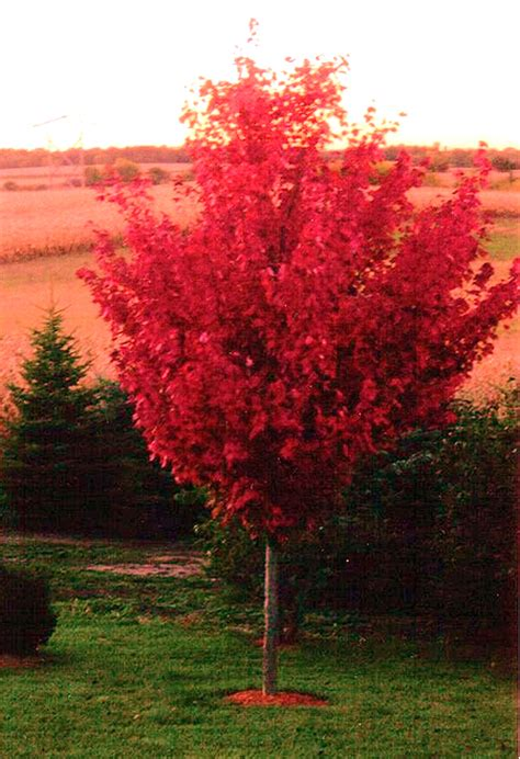 maple tree in fall autumn blaze maple trees autumn crafts picture