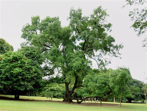 singapore tree heritage tree wallpaper screensaver heritage trees