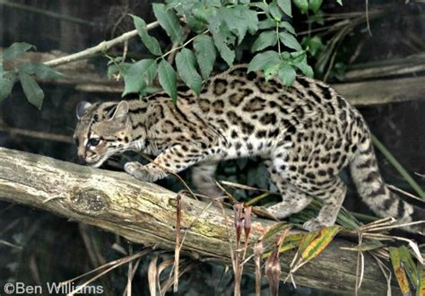 margay international society for endangered cats isec