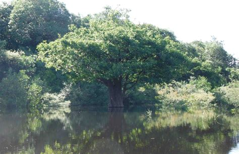 tree in brazil trees and water levels explorer brazil