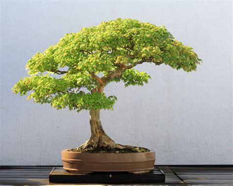 file trident maple bonsai 52 october 10 2008 jpg