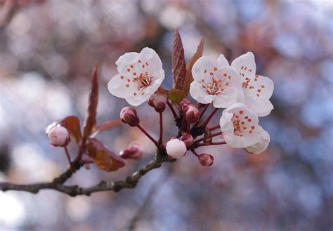 cherry blossom tips gardening pictures care meaning growing cherry blossom the flower