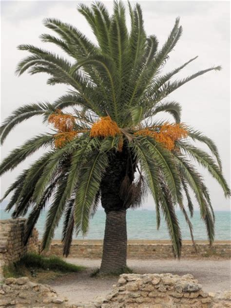 national tree dates date palm growing how to care for a date palm tree