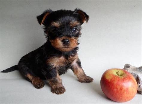 yorkshire terrier sale miniature k c yorkshire terrier puppies radstock
