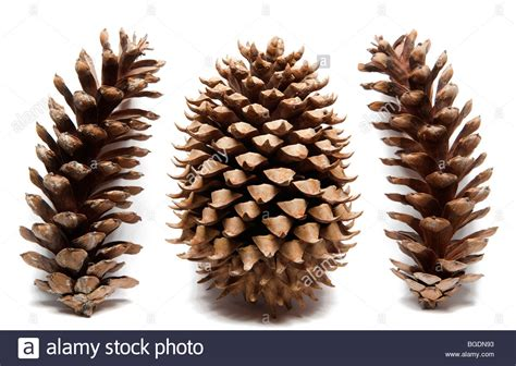 with pine cones coulter pine cone with eastern white pine cones on white