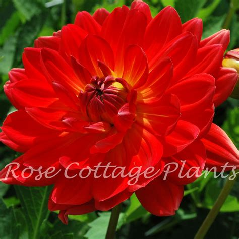 Home Decorative Plants dahlia karma irene rose cottage plants