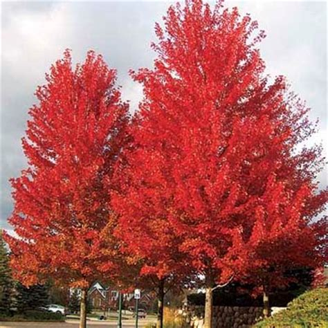 maple tree zone 8 fastest growing shade trees
