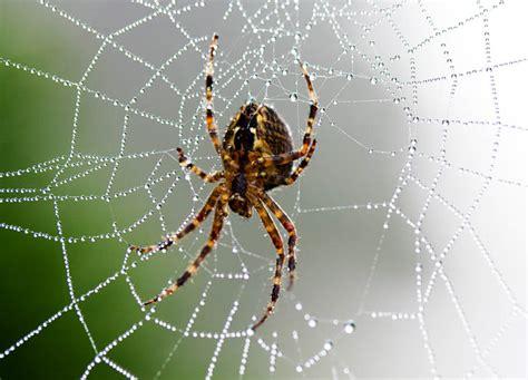 Garden Spider Photos Spiders