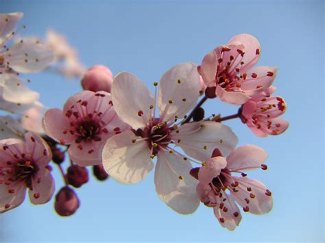 image result for http www deviantart 18539967 just a cherry blossom tree