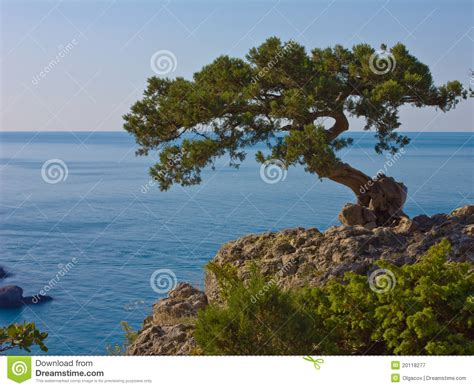 rock the tree the tree on the rock royalty free stock photography