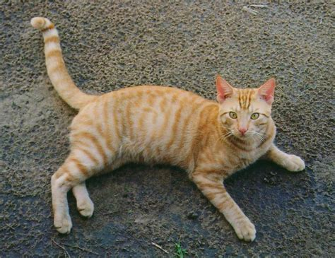orange cat orange tabby cats pctures and info