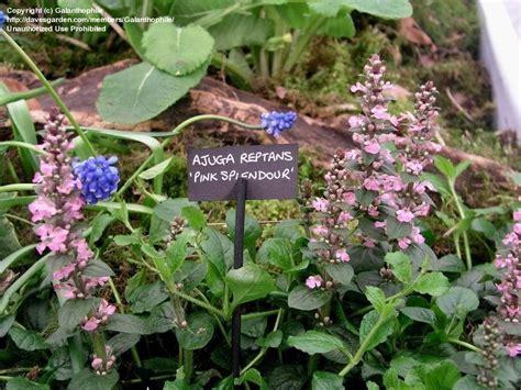 pink bugle plantfiles pictures bugle bugleweed carpet bugle pink