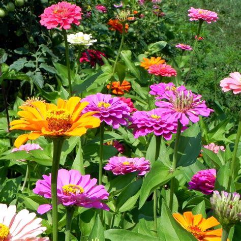 zinnia flower garden power of the flower zinnias quot