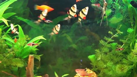 aquarium hd aquarium d eau douce poissons exotiques d eau douce poissons d eau douce
