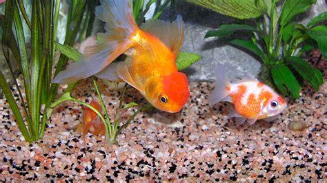 le site du poisson quel sol pour les poissons rouges