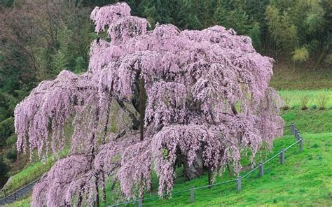1 000 year cherry tree gives to japan nuclear victims telegraph