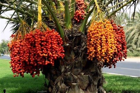 national tree dates the importance of dates in the uae sheikh mohammed