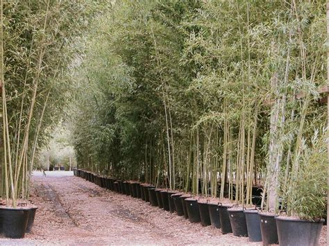 les bambous bambous